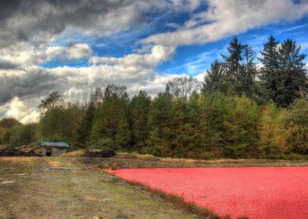Der Anbau der Cranberries