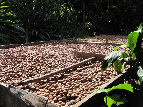 Bei Macadamias wird der Wassergehalt reduziert, während sie langsam trocknen.