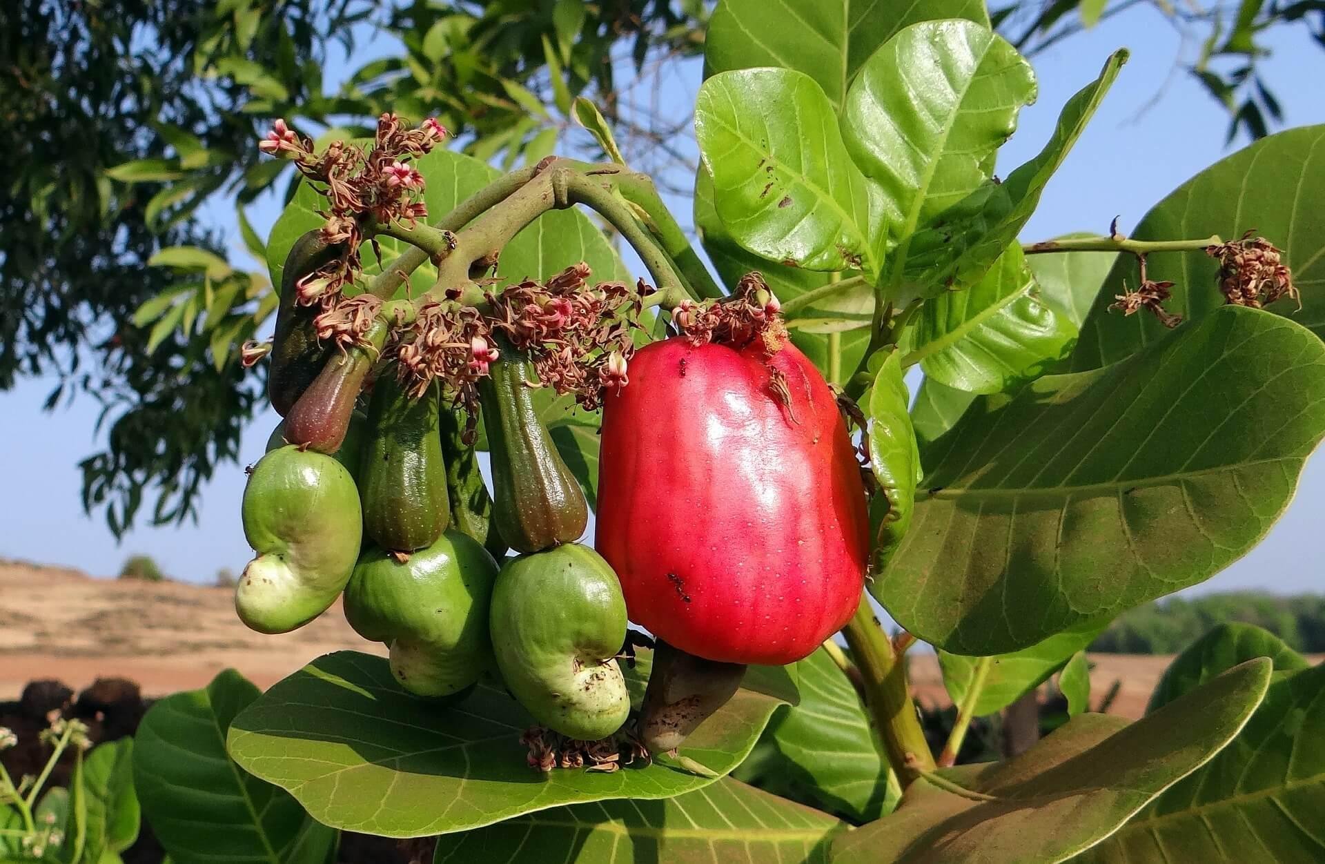Der Cashewapfel in Paprikaform und fleischigem Fruchtstiel