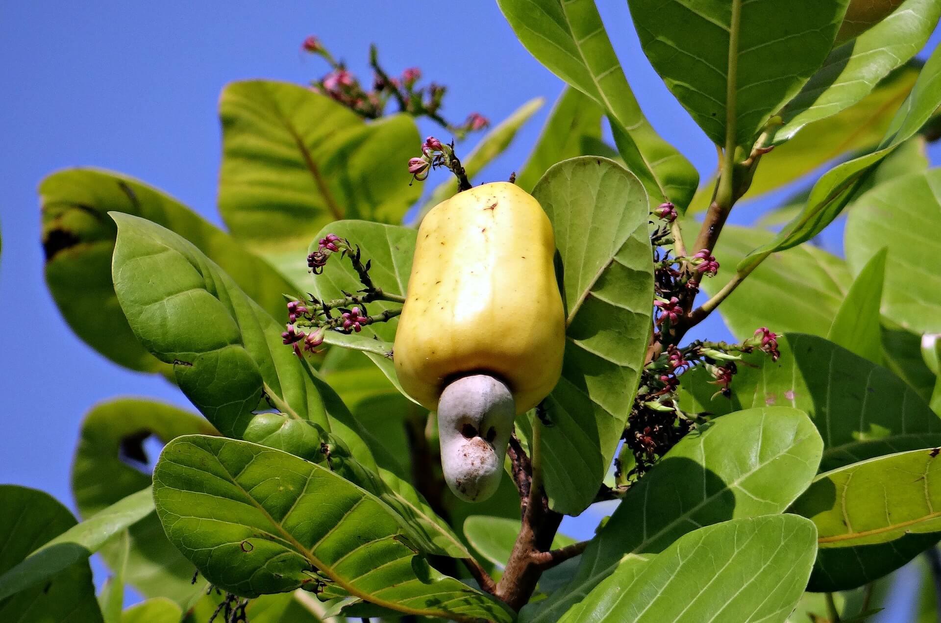 Die Cashew Frucht