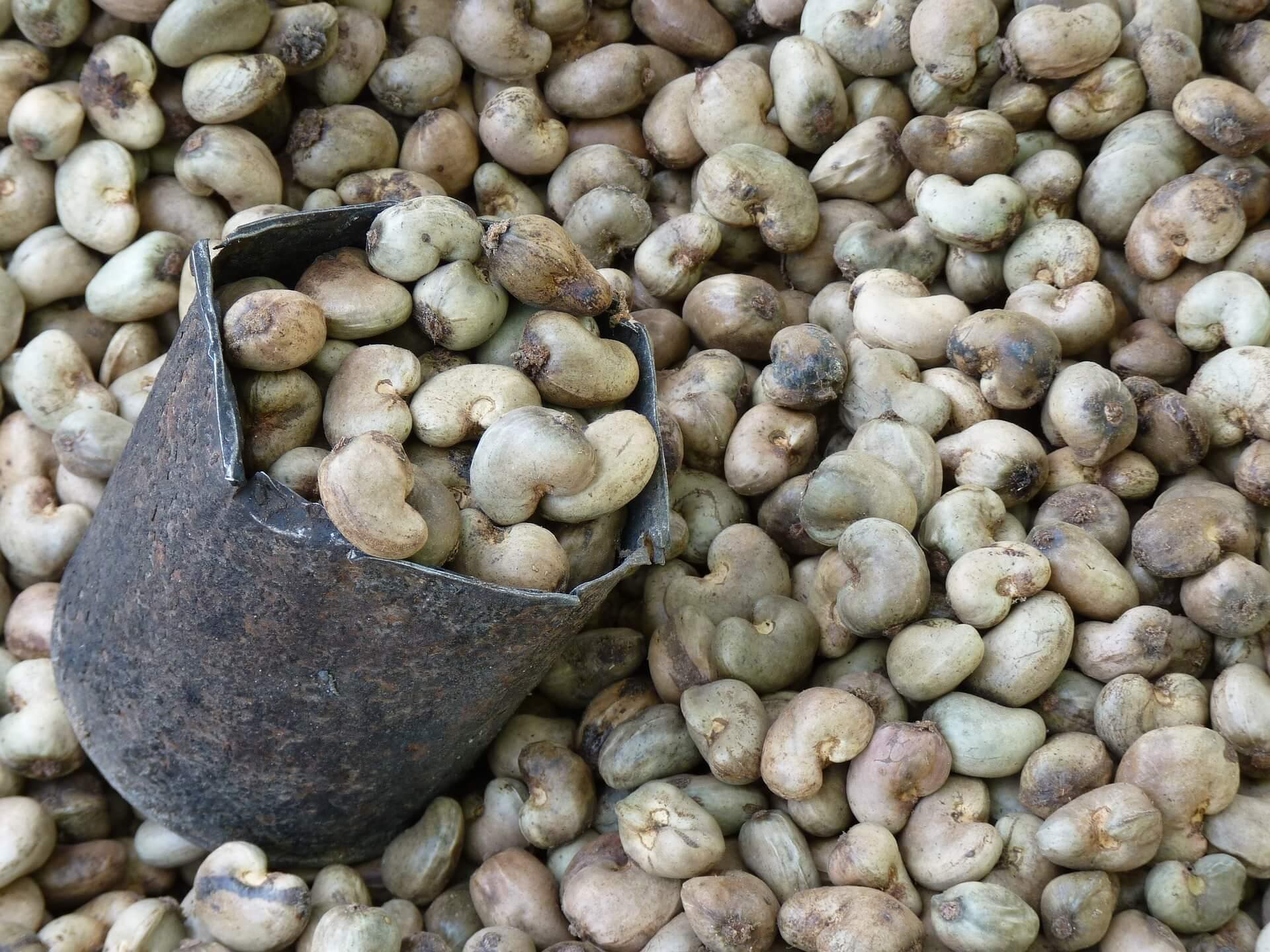 Schalen Hülle der Cashewfrucht